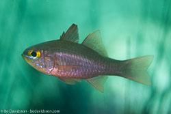 BD-161103-Alor-4618-Ostorhinchus-monospilus-(Fraser.-Randall---Allen.-2002)-[Moluccen-cardinal].jpg